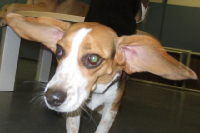 A small hound with her ears flapped way out