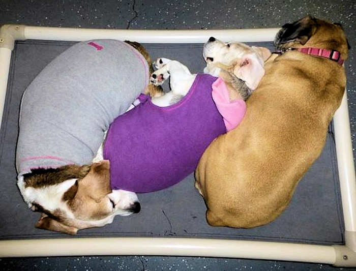 Three small dogs cuddled up together on a dog bed, two are wearing little coats